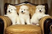Белоснежные щенки самоеда!!!