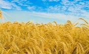 Продам пшеницу,  зерноотходы, ячмень,  овёс. По всей территории РК и РФ!