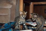 На продажу,  экзотические котята.